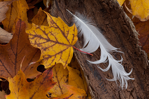 feather and sugar maple leaves
